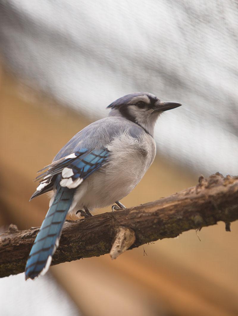 Blue Jay bird on a tree branch