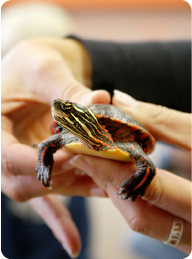 midland_painted_turtle