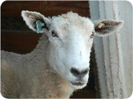 montadale_sheep