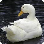 white_pekin_duck